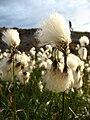Eriophorum angustifolium upernavik 2007-08-01 1.jpg