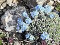 Eritrichium nanum (47086322742).jpg