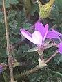 Erodium cicutarium 113791979.jpg