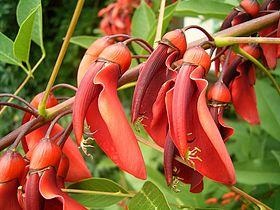 Erythrina crista-galli 06 ies.jpg