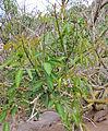 Erythrina crista-galli kz1.JPG