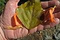 Erythrina poeppigiana (14449311593).jpg
