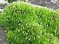 Esporofitos Grimmia pulvinata PuenteGuadianaPoblete 2010-12-09 CampodeCalatrava.jpg