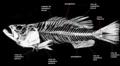 Esqueleto de peixe ósseo.png