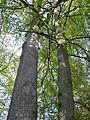 Etang de Hanau-Chêne et hêtre (1).jpg