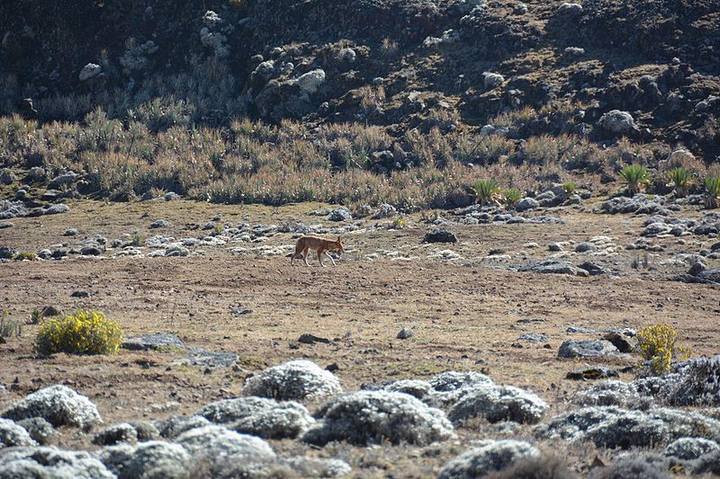 File:Ethiopian Wolf (16338730471).jpg