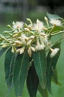 <i>Eucalyptus pellita</i> Species of eucalyptus