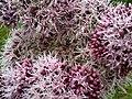 Eupatorium cannabinum 2 - wetland.jpg