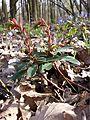 Euphorbia amygdaloides sl5.jpg