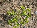 Euphorbia helioscopia RHu 001.JPG