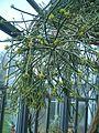 Euphorbia leucodendron BotGardBln07122011D.JPG
