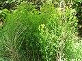 Euphorbia palustris3a.JPG
