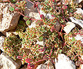 Euphorbia setiloba 1.jpg