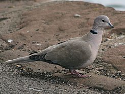 Eurasian Collared Dove, England RWD2.jpg
