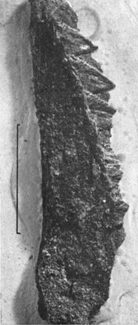 Eurypterids of the Devonian Holland Quarry Shale of Ohio figure 39.jpg