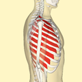 External intercostal muscles lateral.png