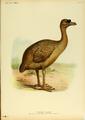 Extinctbirds1907 P23 Pezophaps solitaria0327.png