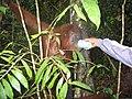 Fütterung orang-utan bukit lawang 2006.jpg