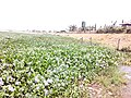 FLOWERS RIVER MINJIBIR LINK TO RIVER BELA KANO STATE (1).jpg