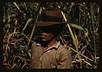 FSA borrower who is a member of a sugar cooperative 1a34021v.jpg