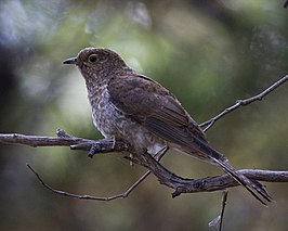 Fan-tailed Cuckoo (Cacomantis flabelliformis) - Flickr - Lip Kee.jpg