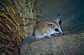 Fat-tailed Dunnart (Sminthopsis crassicaudata) (9998511703).jpg