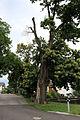 Feldthurns Kastanienbäume bei der St. Anton Kapelle (ND 019 G03).jpg