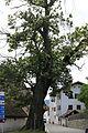 Feldthurns Kastanienbaum bei St. Laurentius (ND 019 G04).jpg
