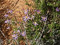 Felicia filifolia Gifberg 03.jpg
