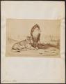 Felis leo - 1869 - Print - Iconographia Zoologica - Special Collections University of Amsterdam - UBA01 IZ22100057.tif