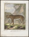 Felis pardus - 1700-1880 - Print - Iconographia Zoologica - Special Collections University of Amsterdam - UBA01 IZ22100222.tif