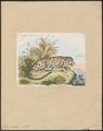 Felis pardus - 1833-1839 - Print - Iconographia Zoologica - Special Collections University of Amsterdam - UBA01 IZ22100234.tif
