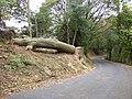 Felled tree, Jay House Lane, Thornhills, Clifton - geograph.org.uk - 596096.jpg