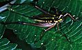 Female Cricket Nisitrus sumatrensis (7912093456).jpg