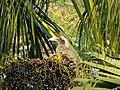 Female Indian Grey Hornbill Eating Palm Fruits 06.jpg