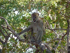 Kinda baboon - Image: Female kinda baboon
