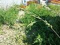 Festuca arundinacea subsp. uechtritziana sl17.jpg
