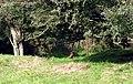 Ffesantod mewn lloches-Pheasants in cover - geograph.org.uk - 988249.jpg