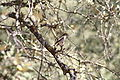Ficedula hypoleuca hembra.JPG