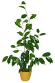 Ficus benjamina cutting, four months old.png
