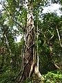 Ficus parasitica-3-kallar-meenmudii-kerala-India.jpg