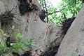 Ficus racemosa 3zz.jpg