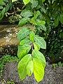 Ficus sp 55.jpg