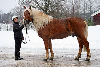 Flaxen gene - A chestnut horse with flaxen mane and tail