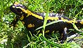 Fire salamander female.jpg
