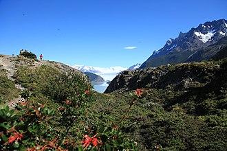 Grey Lake - Image: Firebush (Embothrium coccineum) near Grey Glacier (5501081687)