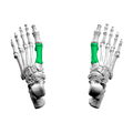 First metatarsal bone01 superior view.png