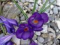 Fleurs de Crocus à Grez-Doiceau 001.jpg