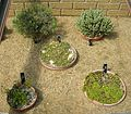 Flickr - brewbooks - New Zealand Rock Garden plants.jpg