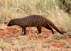 Flickr - don macauley - Mongoose